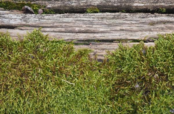 moss plantae bryophyta plant growing on