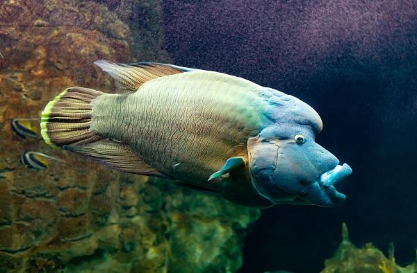 cheilinus undulatus or napoleon fish