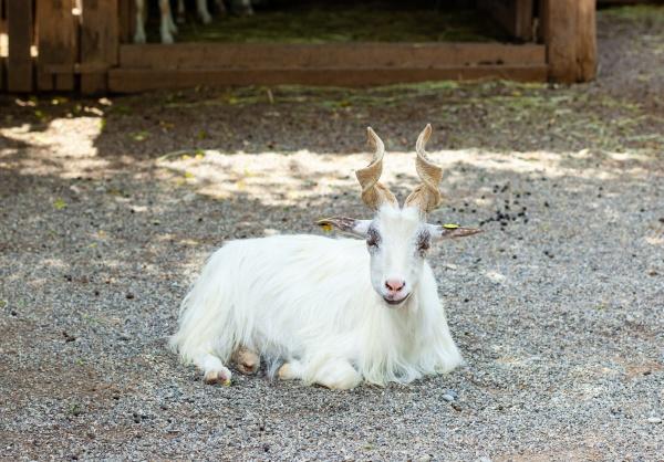 girgentana goat capra aegagrus hircus