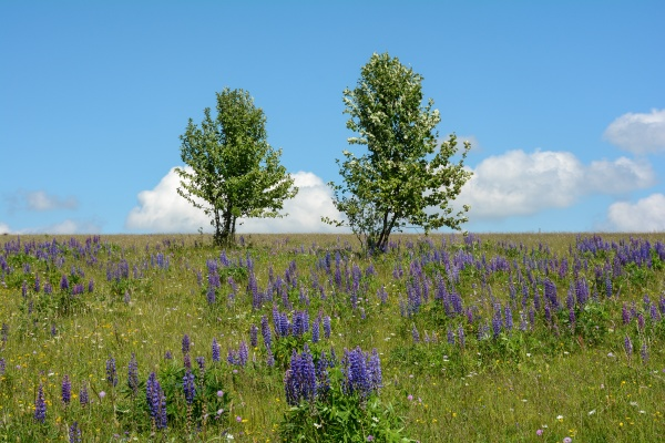 meadow with many purple lupine flowers