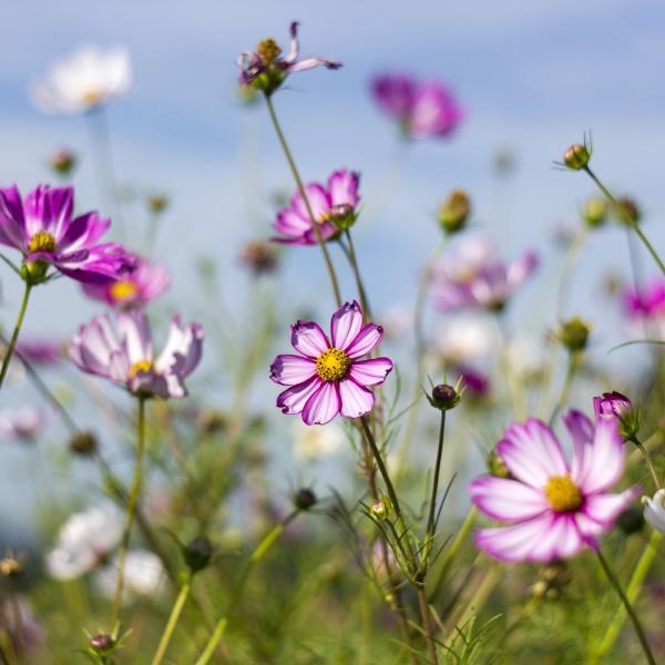 cosmos flower cosmos bipinnatus