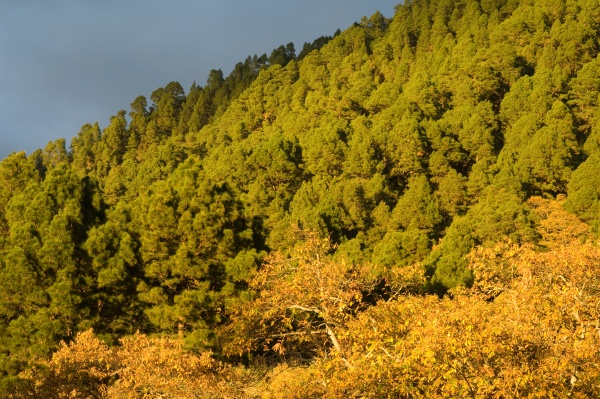 forests of canary island pine and