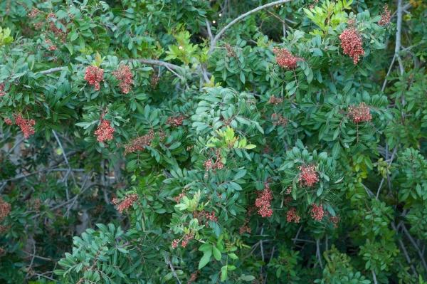 brazilian pepper with berries the nublo