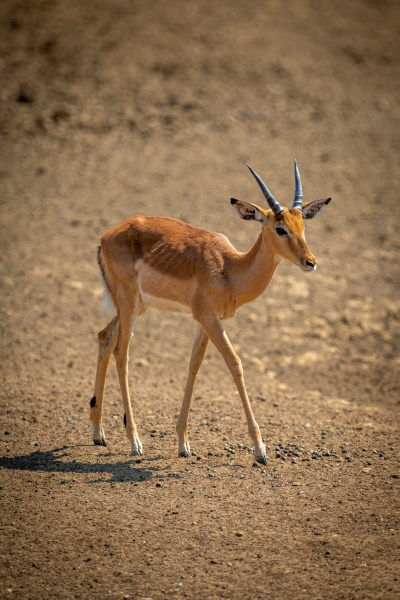 young male common impala walks in
