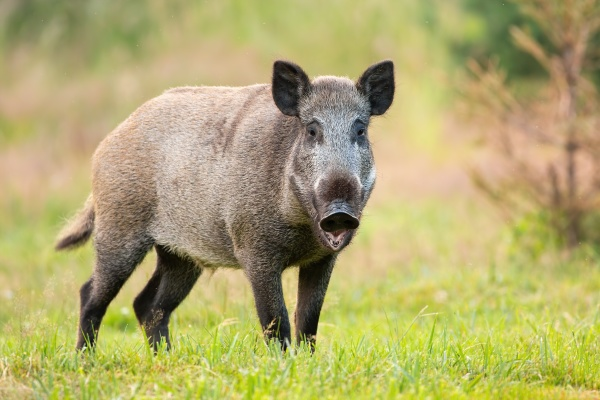 wild boar standing with open mouth
