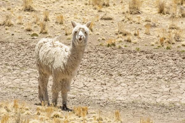 white alpaca vicugna pacos looking at