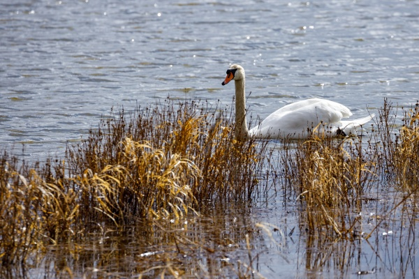 a mute swan on a pond