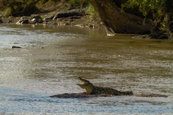 resting in the shallows crocodile