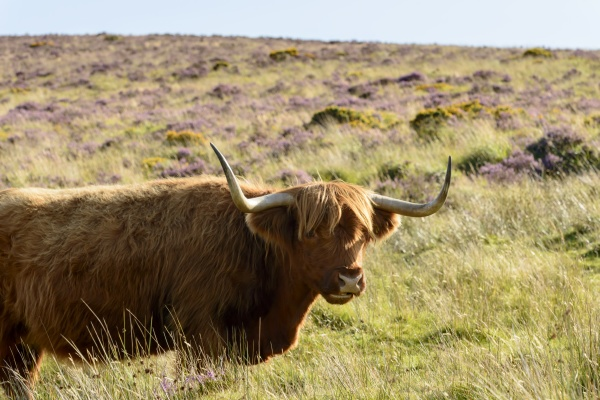 long horns of higland cattle dartmoor