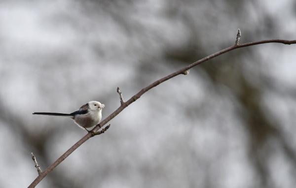 tail tit on a branch