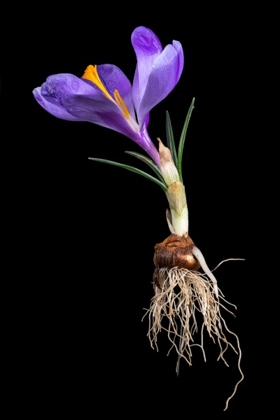 complete purple crocus with flower