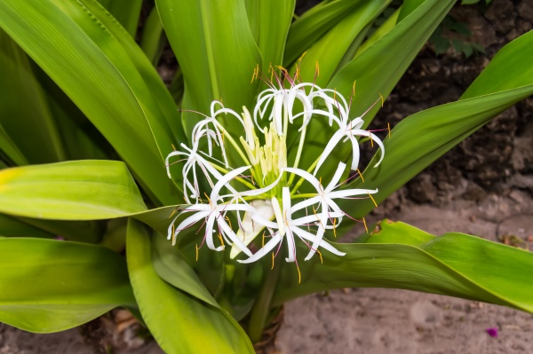 white crinum flower in the blurred
