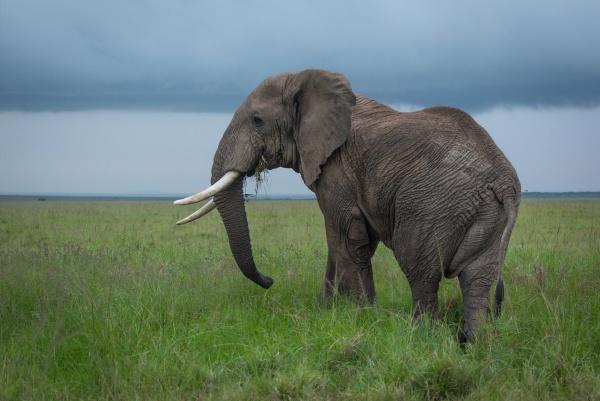 african bush elephant stands feeding in