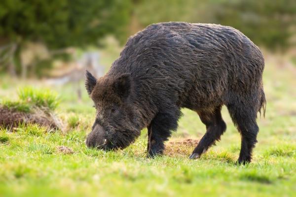 wild boar feeding on pasture in