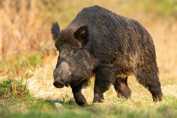 dangerous wild boar approaching from front