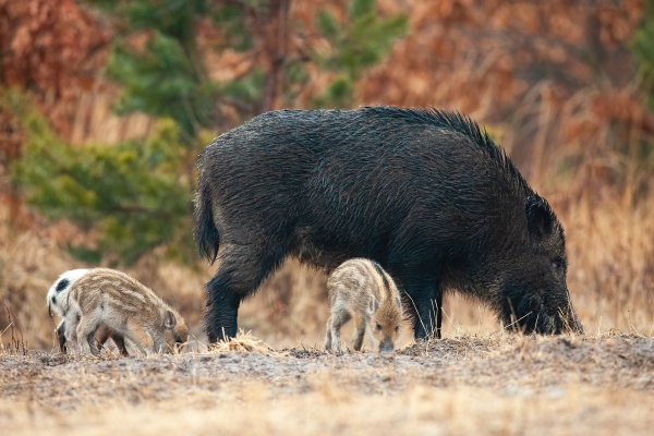 wild boar with piglets sniffing on