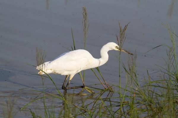 the white heron preys on prey