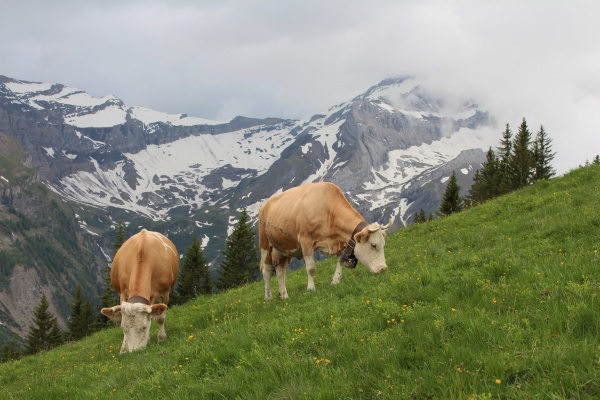 grazing simmental cows in the bernese