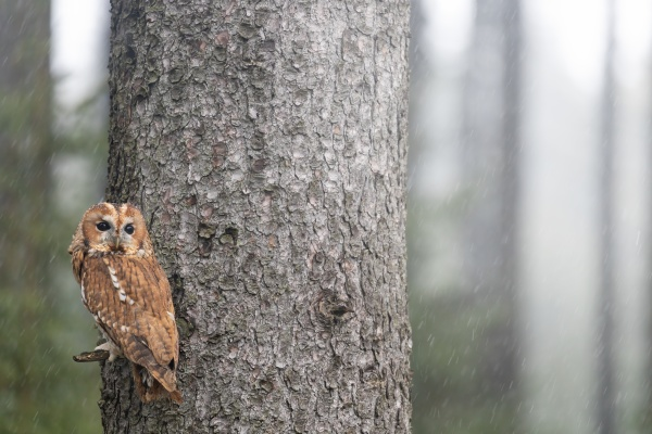 tawny owl is posing on a