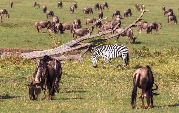migration of animals in savanna of