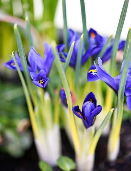 blooming iris in a planter