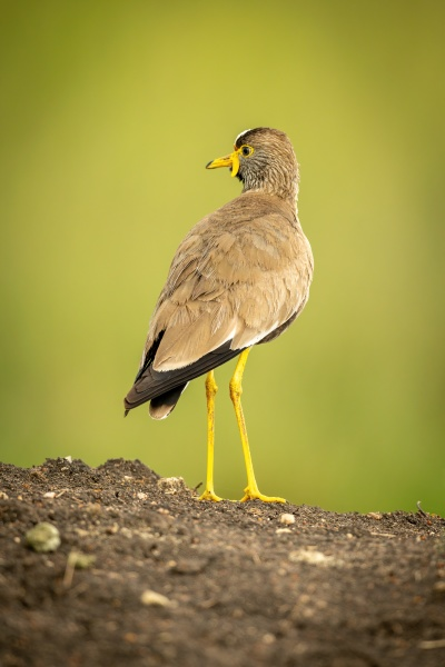 wattled, plover, on, earth, bank, turning - 29733466