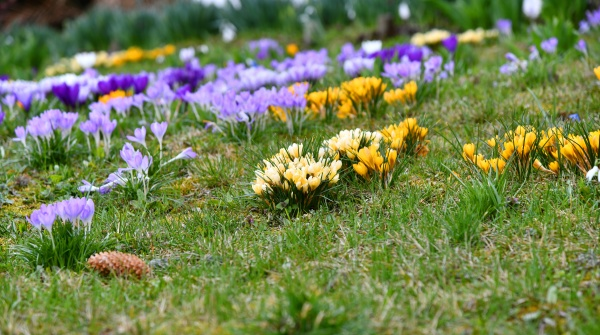 colorful crocuses on a small meadow