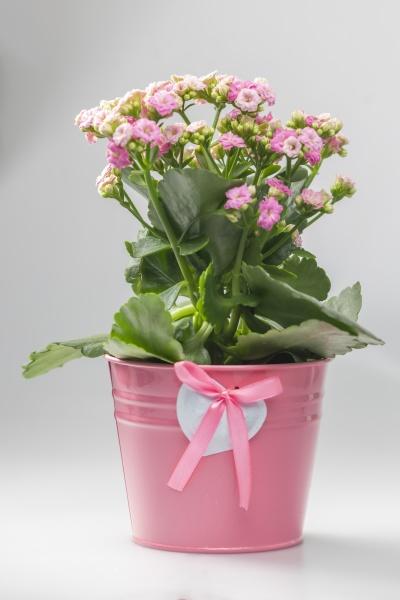 pink kalanchoe in pink flowerpot