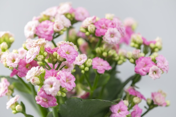close up of pink kalanchoe
