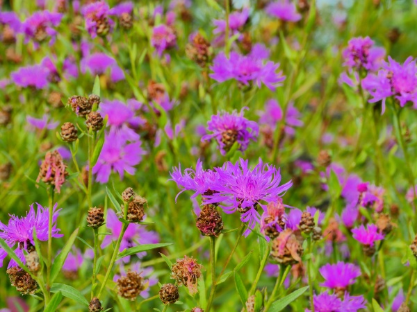 bright blooming wildflower cornflowers