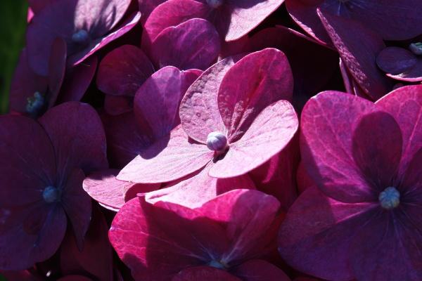 macro of pink hydrangea flowers in