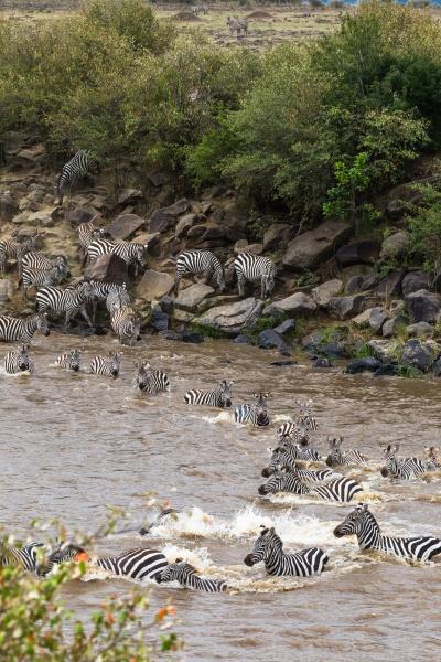 zebras swim across the mara river