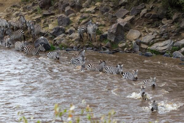 mara river in kenya zebras from