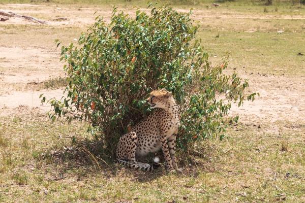 a big cheetah behind a bush