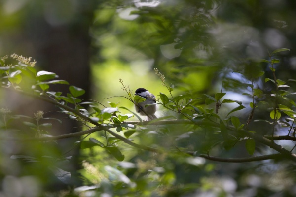 black capped chickadee on a shrub