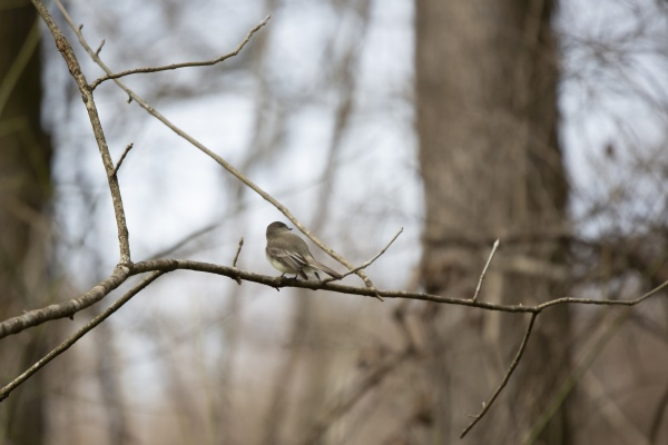 curious eastern phoebe