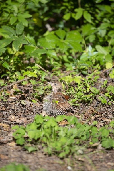 brown thrasher juvenile
