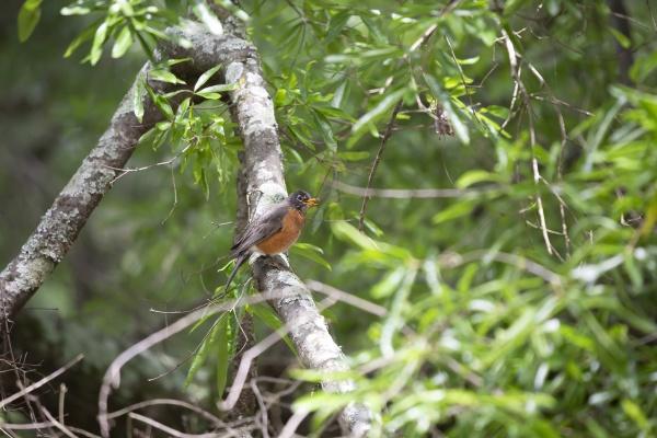 american robin eating a worm