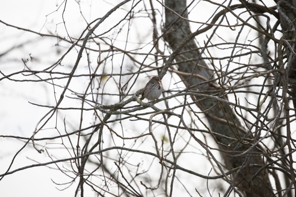 song sparrow on a tree