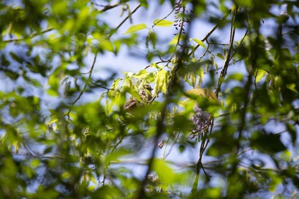 partially hidden white throated sparrow