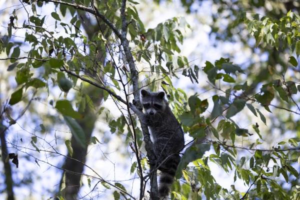 raccoon looking down