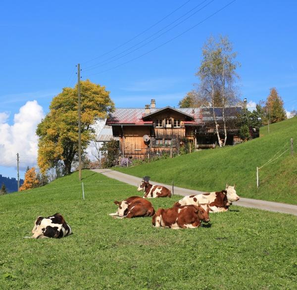 resting, herd, of, cows, , autumn, scene - 29787541