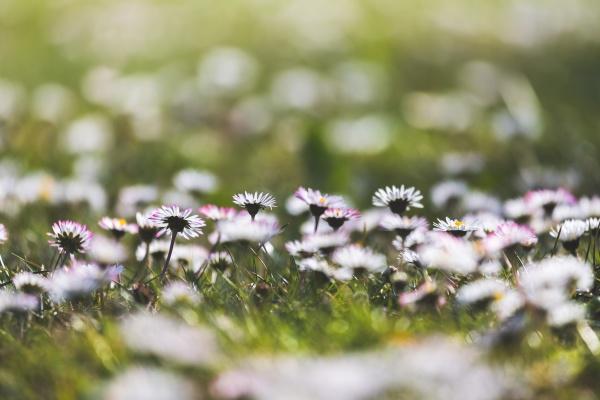 daisies in springtime idyllic close up