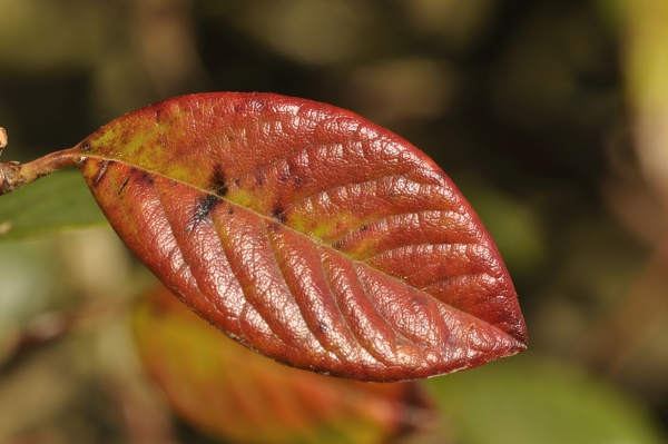 cotoneaster colored leaf in autumn