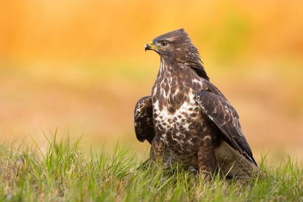 common buzzard sitting on grassland in