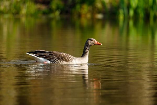 a wild greylag goose