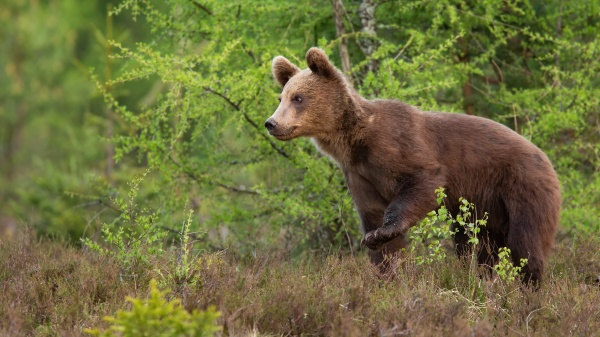 young brown bear walking in forest