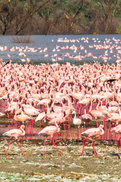 flock of pink flamingos on lake