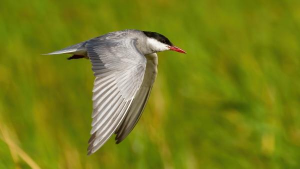 common tern in flight in wetland