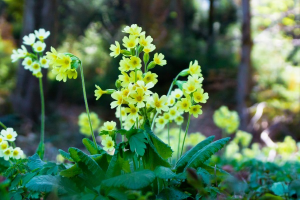 cowslip key flower primula veris